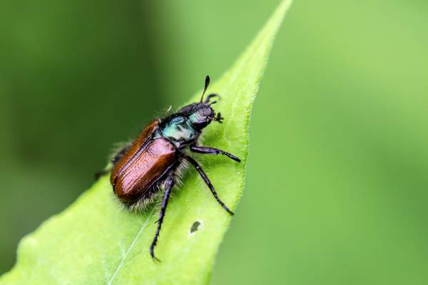 Small cockchafer