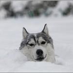 Husky 21/12/2012