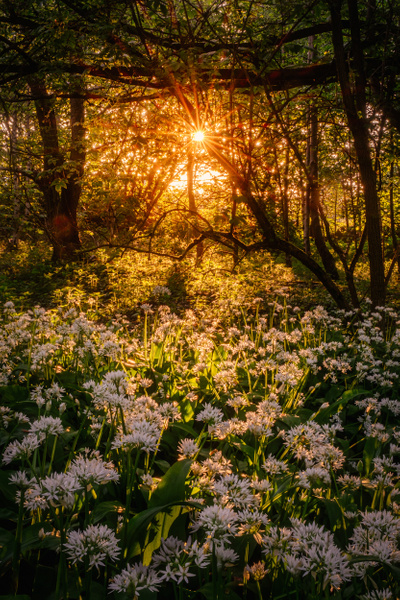 Wild Garlic - Woodland Photography