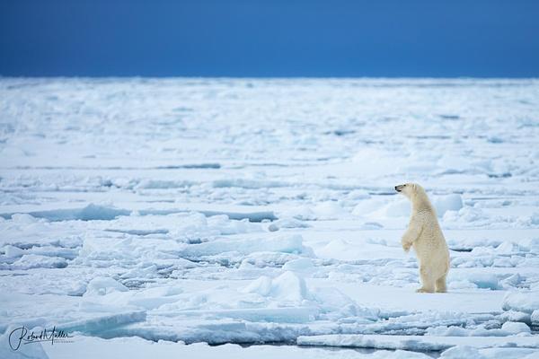 Polar Bear Standing Eisbär Svalbard