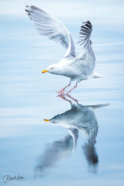 European Herring Gull Silbermöwe Reflection