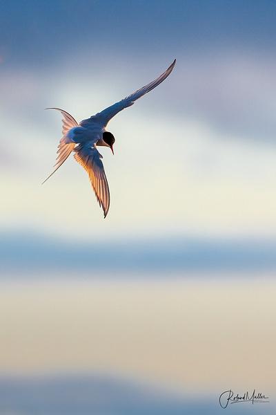 Arctic Tern Küstenseeschwalbe Svalbard