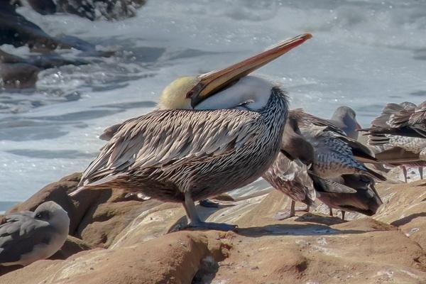 Basking Pelican by MichaelReining