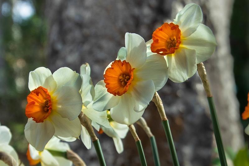 Daffodil Time.