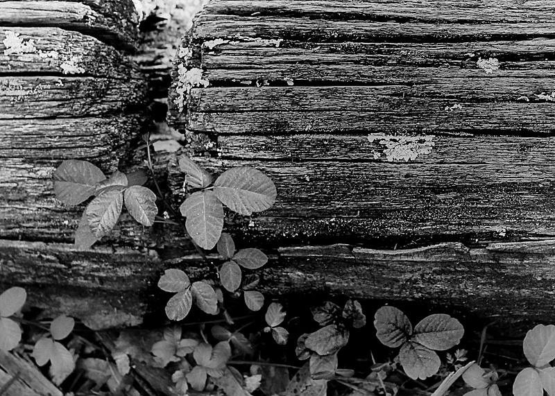 Poison oak on a log
