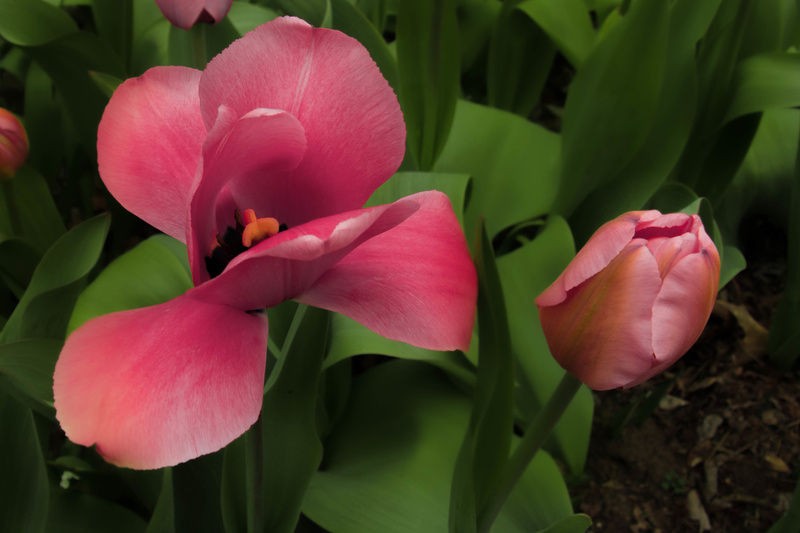 Tulips open and closed.