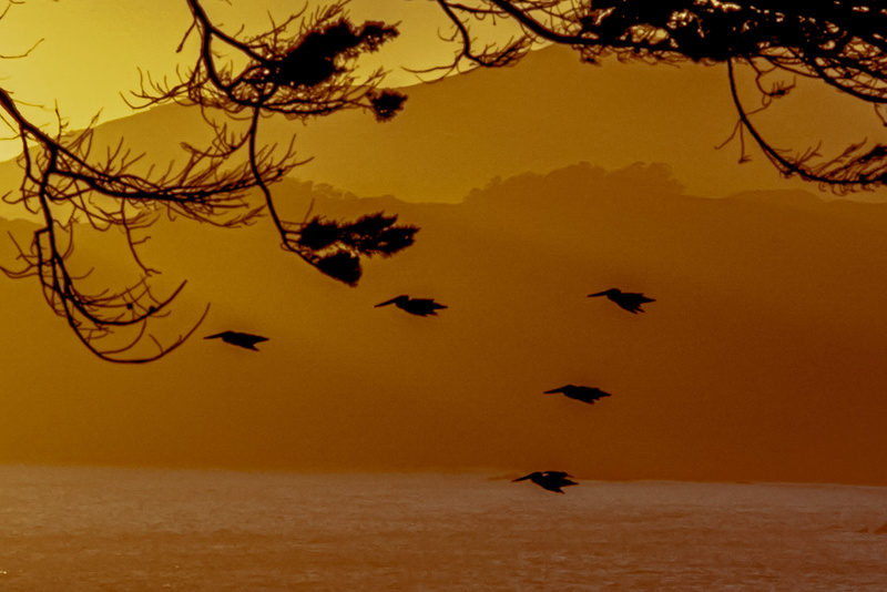 Pelicans at the Golden Gate at the Golden Hour. View toward the Marin Headlands at the Golden Gate