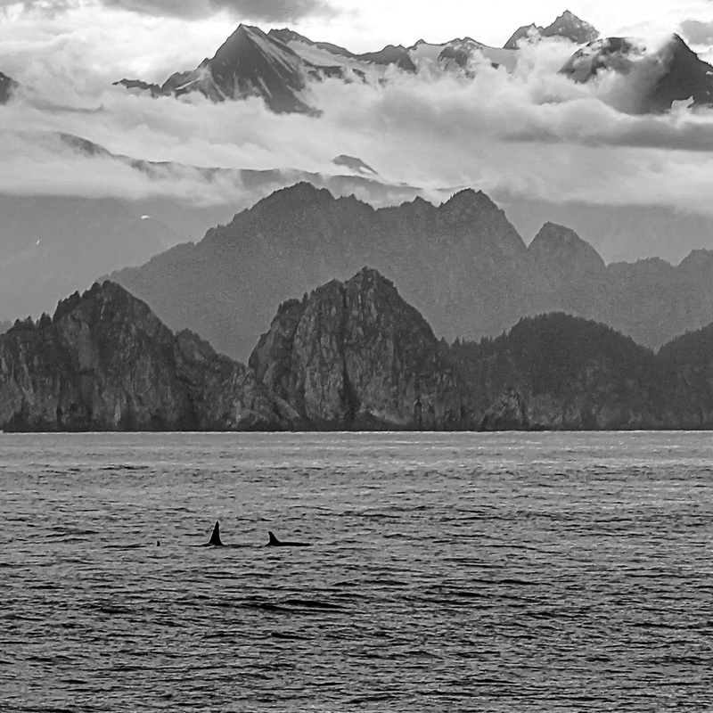 Orcas near Ragged Island 4