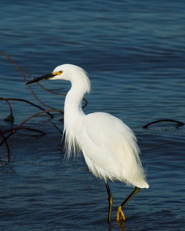 White Egret on the prowl