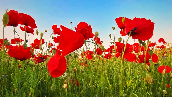 Poppies 1, France - Travel - Marcs Photo