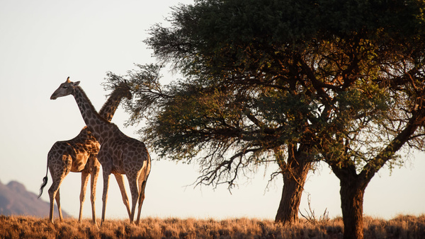 Giraffe, Namibia - Wildlife - Marcs Photo