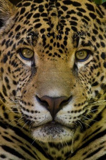 Jaguar, Sacramento Zoo