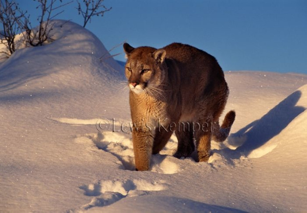 Mountain Lion winter by Lewis Kemper