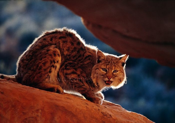 Bobcat by Lewis Kemper