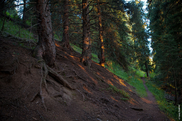 Pine trees in the mountains by VitaliyDyadchev