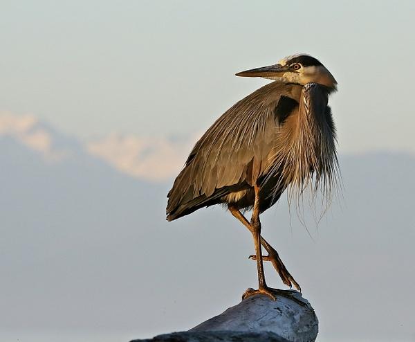 Herons by JamesMetzger by JamesMetzger