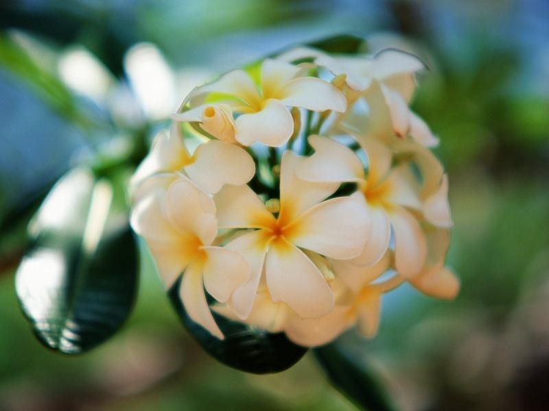 1. Beautiful Frangipani