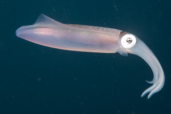 Cliff- Caribbean Reef Squid
