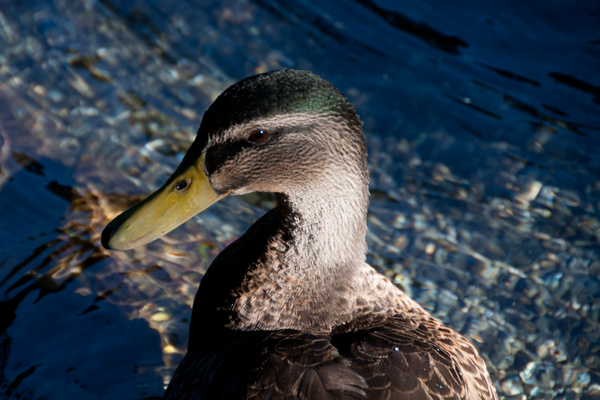 Yes, it's a duck picture, but it's a New Zealand duck by...