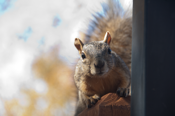Curious squirrel by Willis Chung