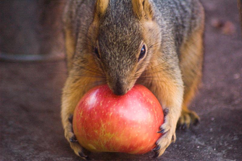 This apple looks pretty tasty