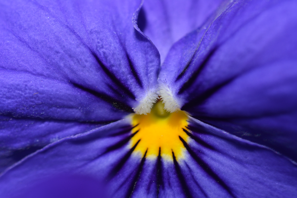 Pansy up close by Willis Chung