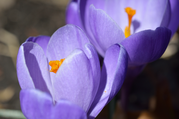 Pair of purple crocuses by Willis Chung