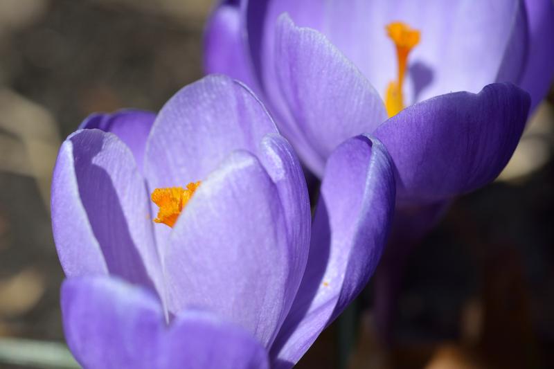 Pair of purple crocuses