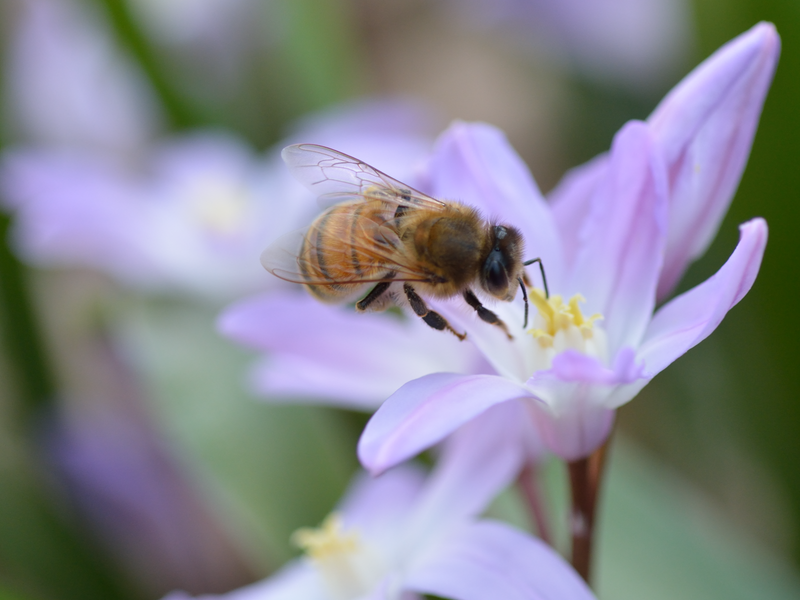 Bees visiting small pale purple flowers