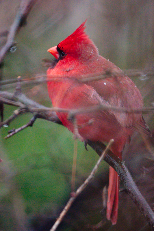 Very cold, windy, snowy day made cheery by the cardinals