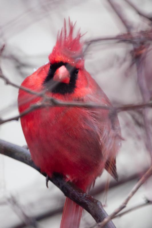 Bird mohawk
