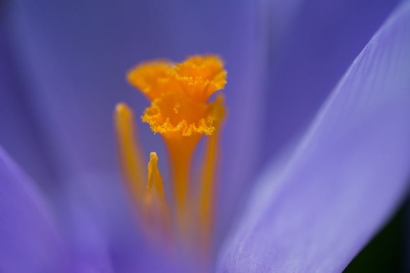 The heart of the crocus