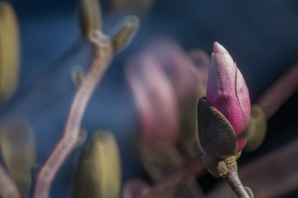 The pink magnolia tree in the front yard is starting to...