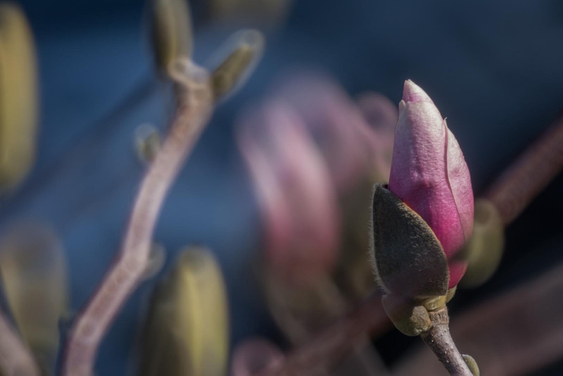 The pink magnolia tree in the front yard is starting to bloom