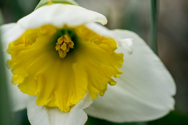 Daffodil in the front yard by Willis Chung