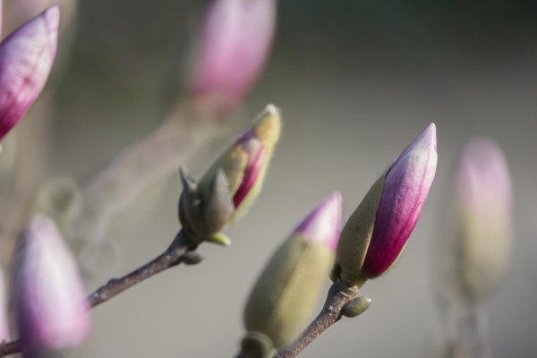 Rising magnolia blooms in the morning by Willis Chung