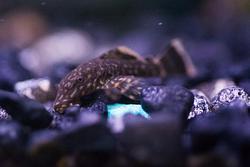 2013Apr Tiny baby bristlenose plecos in aquarium