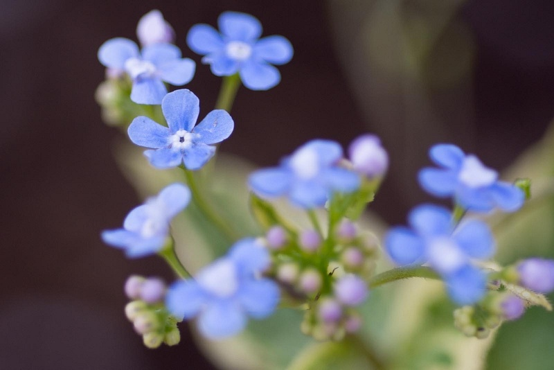 Forget-me-nots in our neighbor's front yard