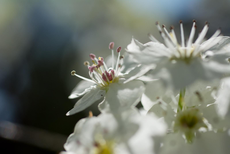 Apple Serviceberry - white flowering trees.