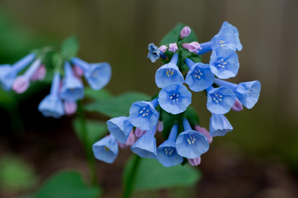 Virginia Bluebells by Willis Chung