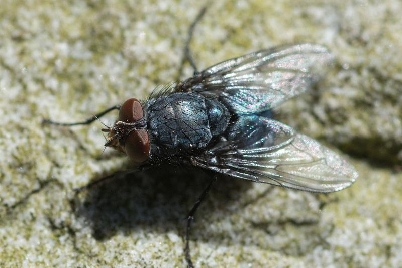 The humble and annoying housefly, Nikon D7100, 60mm f2.8 Nikon Micro, high crop