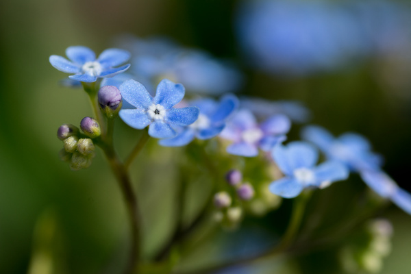 Forget me nots in full sun by Willis Chung