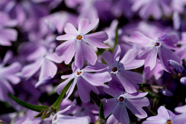 Creeping phlox in periwinkle by Willis Chung