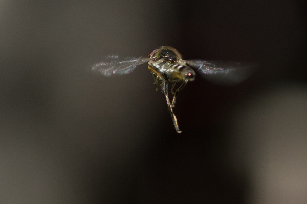 Hoverfly doing what it does by Willis Chung