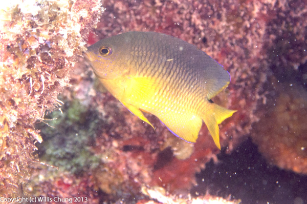 Young adult cocoa damselfish by Willis Chung