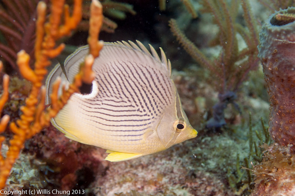 Foureye butterflyfish by Willis Chung