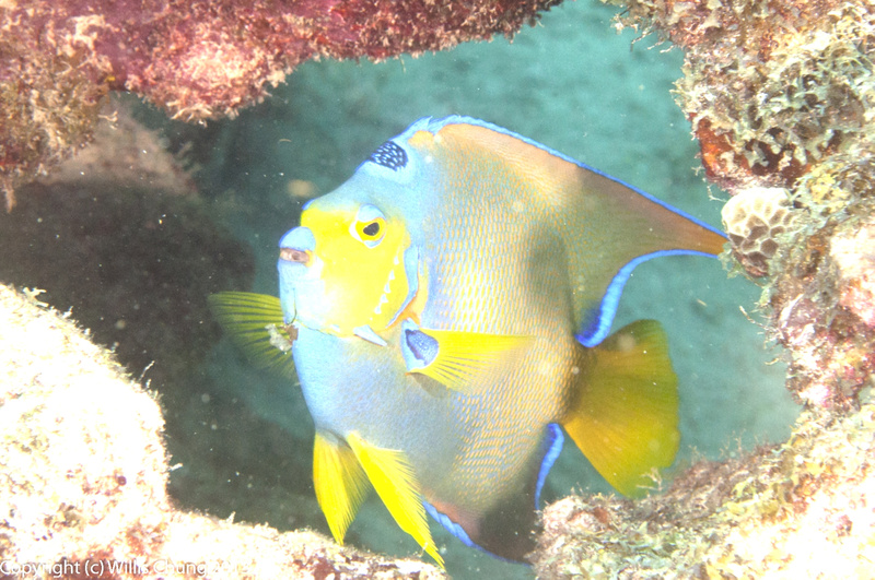 Queen angelfish annoyed with the paparazzi