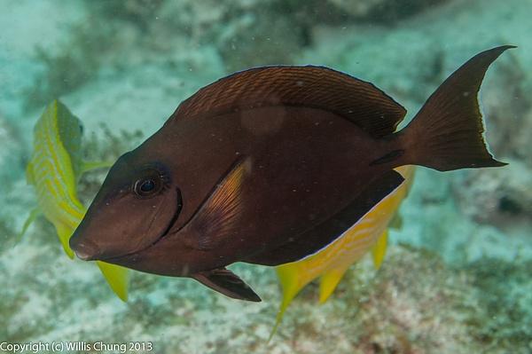Dark phase doctorfish by Willis Chung