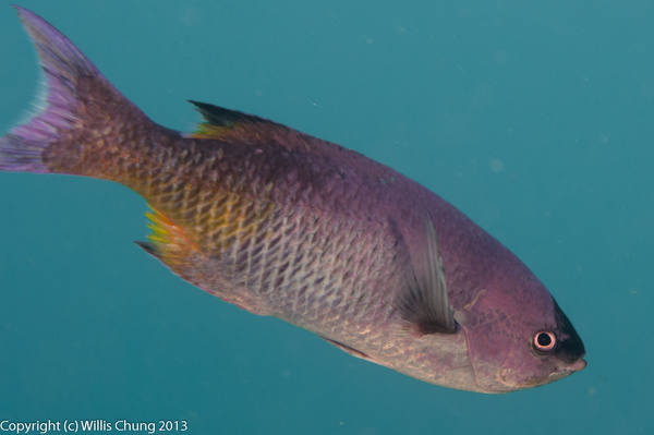We surprised a small school of creole wrasse hiding...