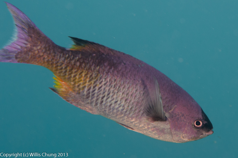 We surprised a small school of creole wrasse hiding under coral
